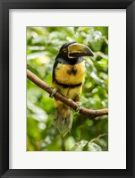 Framed Costa Rica, La Selva Biological Research Station, Collared Aricari On Limb