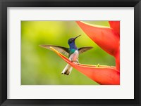 Framed Costa Rica, Sarapiqui River Valley, Male White-Necked Jacobin On Heliconia