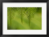 Framed Costa Rica, Sarapique River Valley Fern In Rain