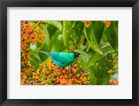 Framed Costa Rica, Arenal Green Honeycreeper And Berries