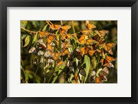 Framed California, San Luis Obispo County Clustering Monarch Butterflies On Branches