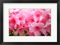 Framed Evergreen Azalea Blooms In The Spring And Summer
