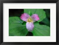 Framed Trillium Perennial Flowering Plant