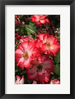 Framed Betty Boop Rose Is A Hybrid Rose With A Moderately Fruity Aroma