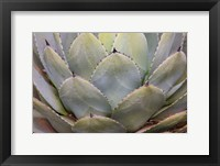 Framed Parry's Agave Or Mescal Agave
