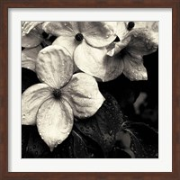 Framed Dogwood Flower No. 3