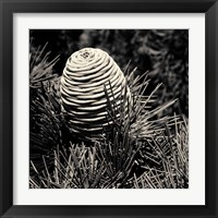 Framed Spruce Cone