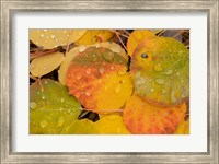 Framed Colorado, Gunnison National Forest, Raindrops On Fallen Autumn Aspen Leaves