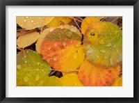Framed Colorado, Gunnison National Forest, Raindrops On Fallen Autumn Aspen Leaves