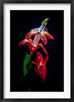 Framed Colorado, Fort Collins, Red Christmas Cactus Plant