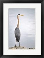 Framed Colorado, Great Blue Heron