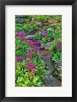 Framed Marsh Primrose Along Small Stream, Winterthur Gardens, New Castle County, Delaware