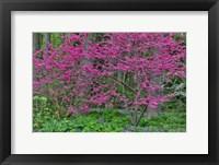 Framed Redbud Tree In Full Bloom, Mt, Cuba Center, Hockessin, Delaware