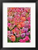 Framed Tulips In Planters, Formal Garden, Mt, Hockessin, Delaware