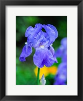 Framed Delaware, Close-Up Of A Blue Bearded Iris
