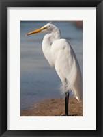 Framed Great Egret (Ardea Alba) On Tigertail Beach Lagoon, Marco Island, Florida