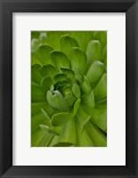 Framed Succulent Close-Up, Upcountry, Maui, Hawaii