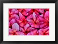 Framed Plumeria Flower Grouping, Maui, Hawaii