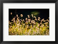Framed Backlit Grass Seedhead