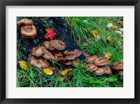 Framed Golden Honey Mushrooms On Oak Trunk, Michigan