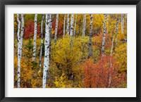 Framed Aspen Grove In Peak Fall Colors In Glacier National Park, Montana