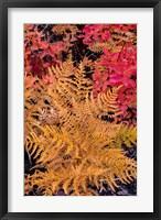 Framed Autumn Ferns And Ground Cover, Glacier National Park, Montana