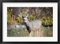 Framed Mule Deer Buck At National Bison Range, Montana
