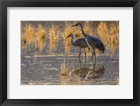 Framed Sandhill Cranes In Water
