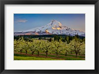 Framed Oregon Pear Orchard In Bloom And Mt Hood