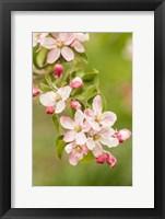 Framed Hood River, Oregon, Close-Up Of Apple Blossoms