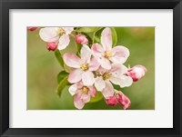 Framed Hood River, Oregon, Apple Blossoms In The Nearby Fruit Loop Area