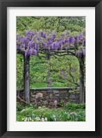 Framed Wisteria In Full Bloom On Trellis Chanticleer Garden, Pennsylvania
