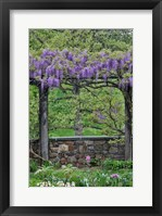 Framed Wisteria In Full Bloom On Trellis Chanticleer Garden, Pennsylvania