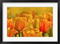 Framed Tulip Garden, Longwood Gardens, Pennsylvania