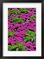 Framed Pinks And Green Design In The Conservatory, Longwood Garden, Pennsylvania