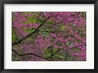 Framed Redbud Tree In Full Bloom, Longwood Gardens, Pennsylvania