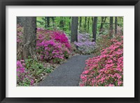 Framed Path And Azaleas In Bloom, Jenkins Arboretum And Garden, Pennsylvania
