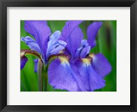 Framed Close-Up Of Purple Iris Flowers Blooming Outdoors