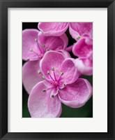 Framed Hydrangea Macrophylla 'Ayesha', Lilac Pink