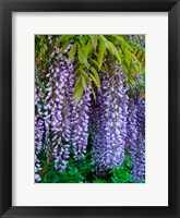 Framed Purple Wisteria Blossoms Hanging From A Trellis