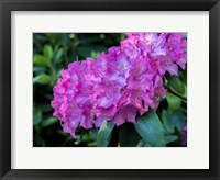 Framed Large Pink Rhododendron Blossoms In A Garden