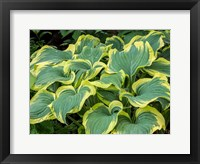 Framed Variegated Green And Yellow Hosta