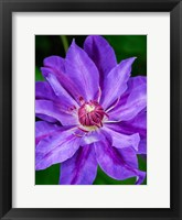 Framed Close-Up Of A Clematis Blossom 2