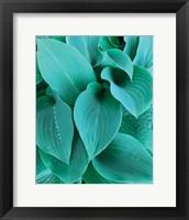 Framed Blue Hostas
