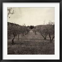 Framed Tuscan Olive Grove