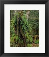 Framed Ferns - Key Peninsula