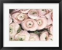 Framed Soft Pink Ranunculus