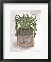 Framed Spider Plant