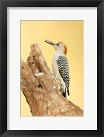 Framed Golden-Fronted Woodpecker Eating A Seed, Linn, Texas