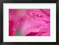 Framed Pink Mum 1